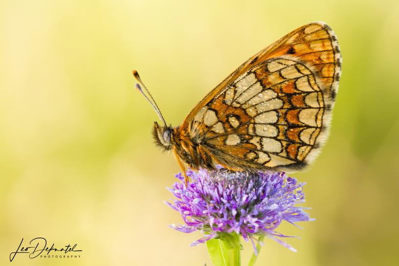 Bosparelmoervlinder - Bosparelmoervlinder (Melitaea athalia)<br /> <br /> Dit mooie vlindertje is helaas geen algemene soort en komt in Nederland al