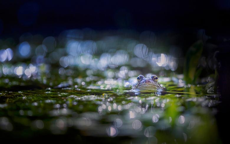 Bling bling it's spring - Ja hoor ze zijn er weer, de bruine kikkers in mijn vijver.<br /> <br /> De eerste lichting is inmiddels gearriveerd en ook