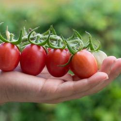 Vers geplukte tomaten