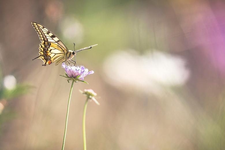 The Queen - Weer thuis na een mooie vakantie in de Ardèche. Veel vlinders gezien zoals deze Koninginnenpage.