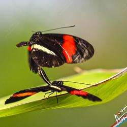 Wip vlinder