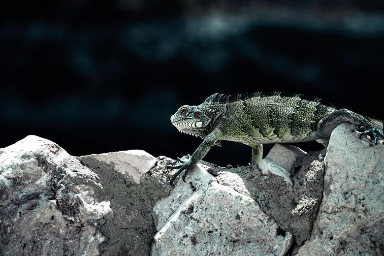Iguana -