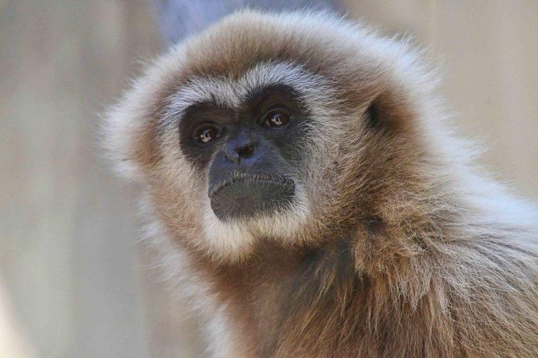 Een verre neef - Veel mensen denken dat de donkere of de lichte vacht van withandgibbons iets te maken heeft met het geslacht van de aap. Dat is niet