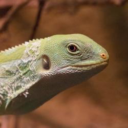 Smaragd varaan - Varanus prasinus