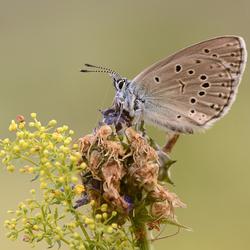 Berggentiaanblauwtje (Phengaris rebeli)