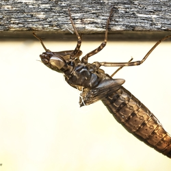 Uitsluiper Witsnuit libelle