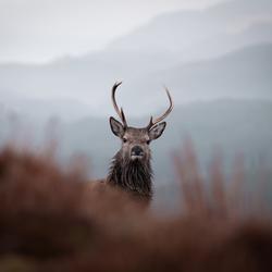 Scottish staredown