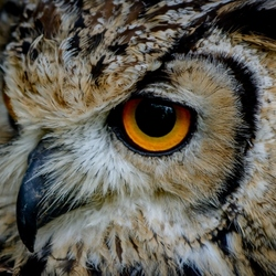 The eye of the eagle owl..3...