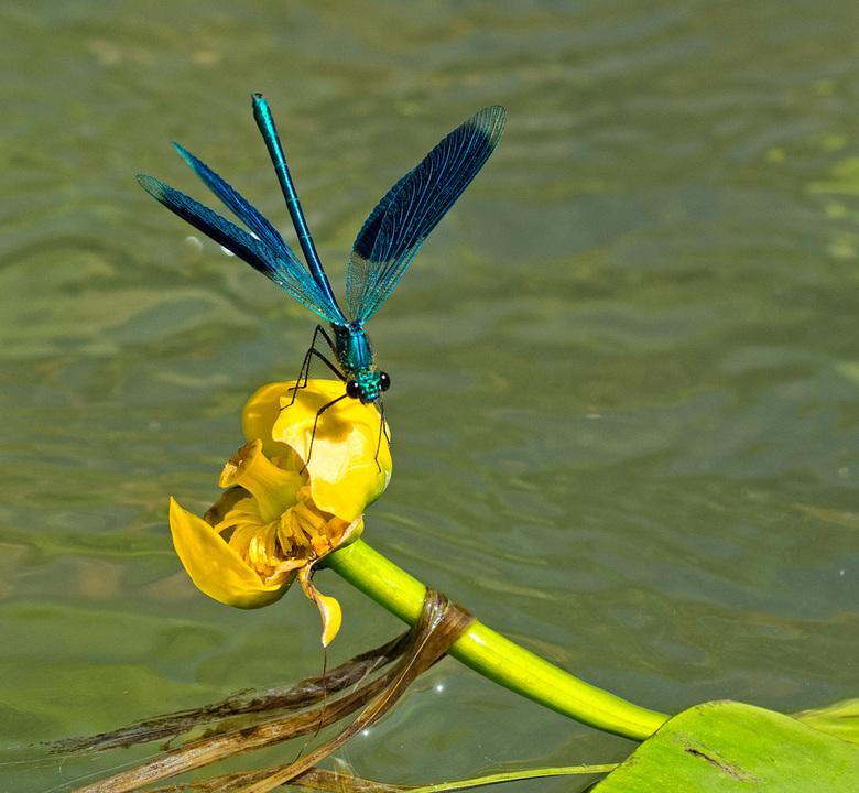weidebeekjuffer - Zo mooi zijn ze, maar ook zo beweeglijk.<br /> Hier lig ik -plat op mijn buik- op een houten loopvlonder boven het water. Ik ben bl