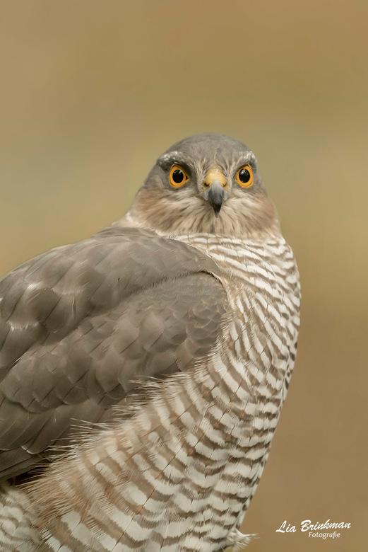 Sperwer - Oog contact met de sperwer die een bad kwam nemen bij de vogelhut, begin van de herfst.<br /> Binnenkort ga ik weer een dagje naar de vogel