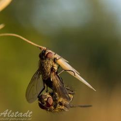 Parende vliegen 1