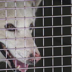 Sled Dog behind bars.