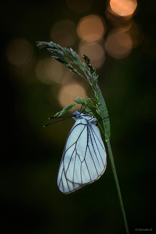 sunrise... - Groot geaderd witje (Aporia crataegi) bij zonsopkomst. <br />