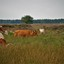 Koeien van Dwingeloo