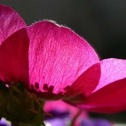 anamona blanda