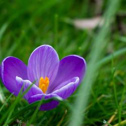 Krokus in het gras