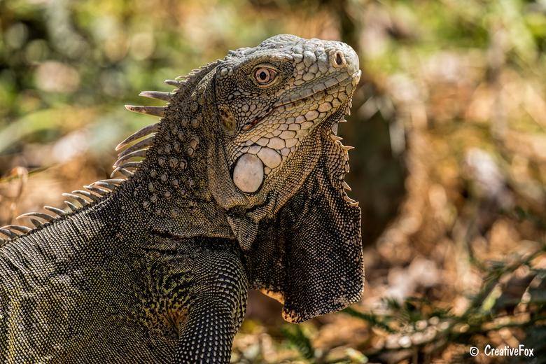 Leguaan op Bonaire - In het Nationaal Park Washington Slagbaai op Bonaire kom je ze al snel tegen. Prachtige leguanen met hun indrukwekkende kop. Ze h