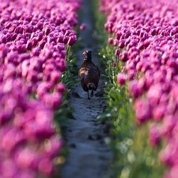 Fazant in een tulpenveld.