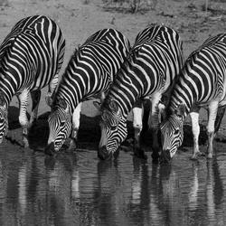 Dorstige Zebra's
