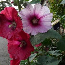 Ibiskus bloemen