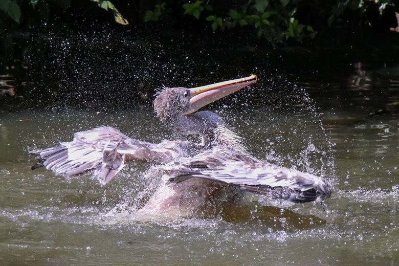 Roze gesteunde pelikaan - Omdat ik nog niet zo lang fotografeer ben ik in de dierentuin gaan oefenen. Gelukkig gunde deze pelikaan mij ook mijn foto&#