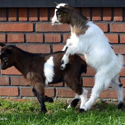Vooruit met de geit