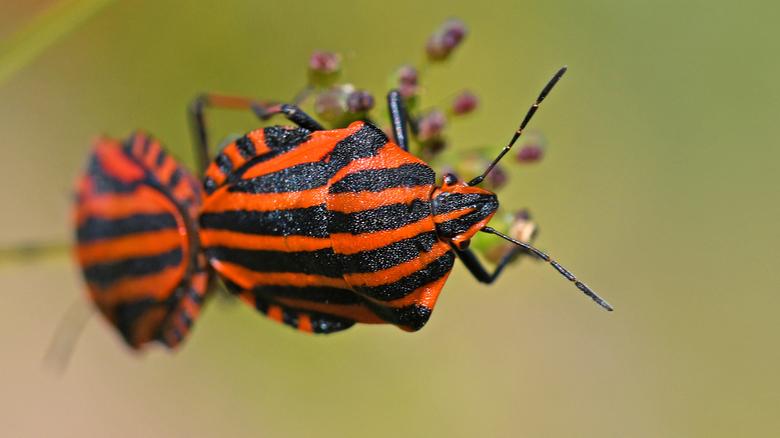 exhibitionisme  - Pyjamaschildwantsen worden tegen insecteneters beschermd door hun smerige smaak. Zij doen daarom absoluut geen moeite om zich te ver