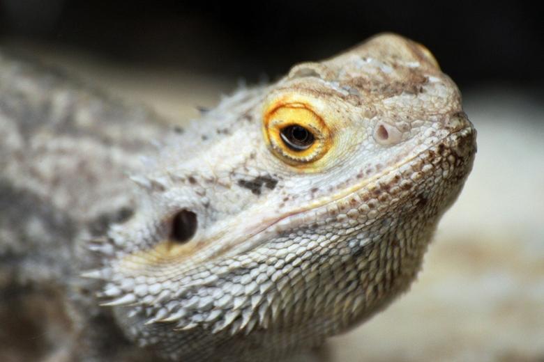 Pogona Vitticeps - Een reptiel op zich