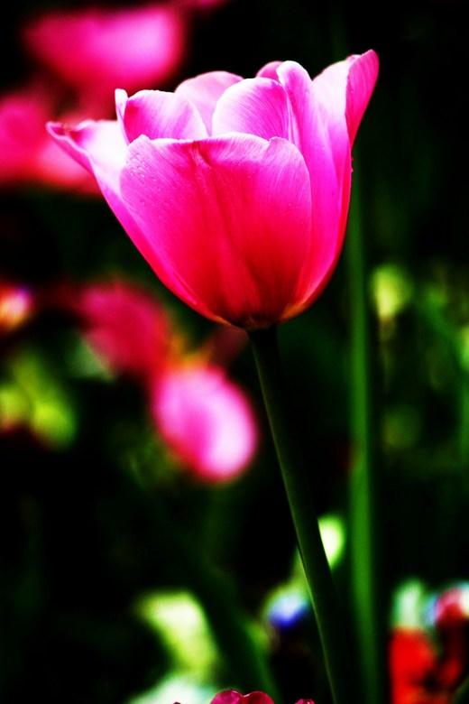 Tulp - Rose tulp