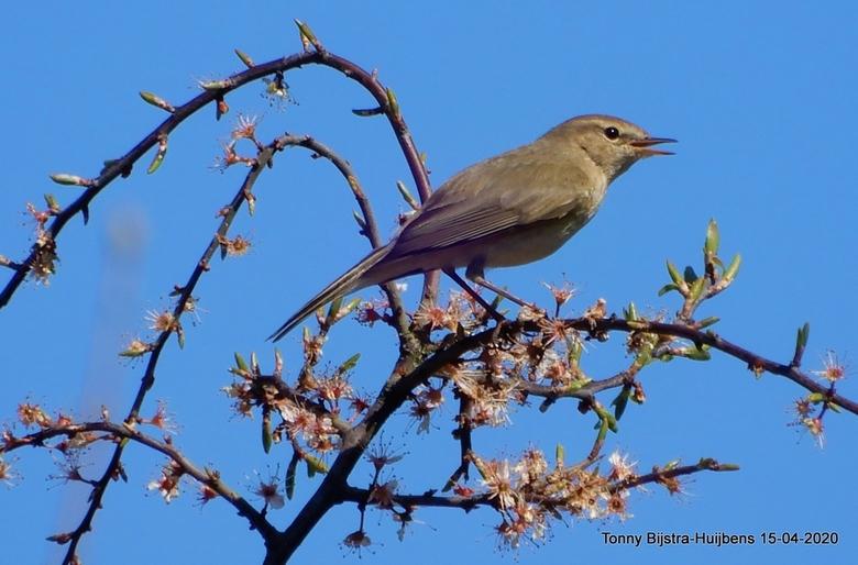 ben je doof? - volgens mij is dit de grauwe vliegenvanger, gespot in de achtertuin op een zonnige dag in april van dit jaar.hartelijk dank voor alle e