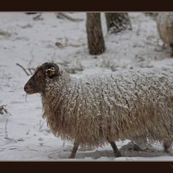 winterschaap