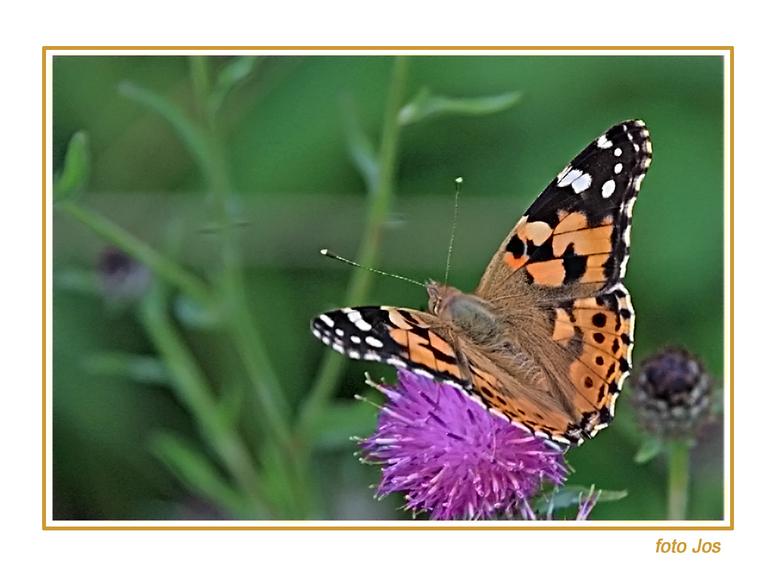 vlinder - Zaterdag j.l even op vlinderjacht geweest. Ik heb met veel geduld enkele verschillende soorten kunnen vastleggen. Ieder bedankt voor de reac