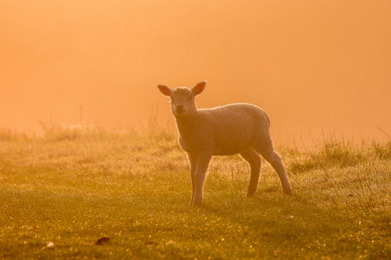 Lam in het golden hour. - Op een vroege lente morgen dook er plots uit de mist een lammetje op .