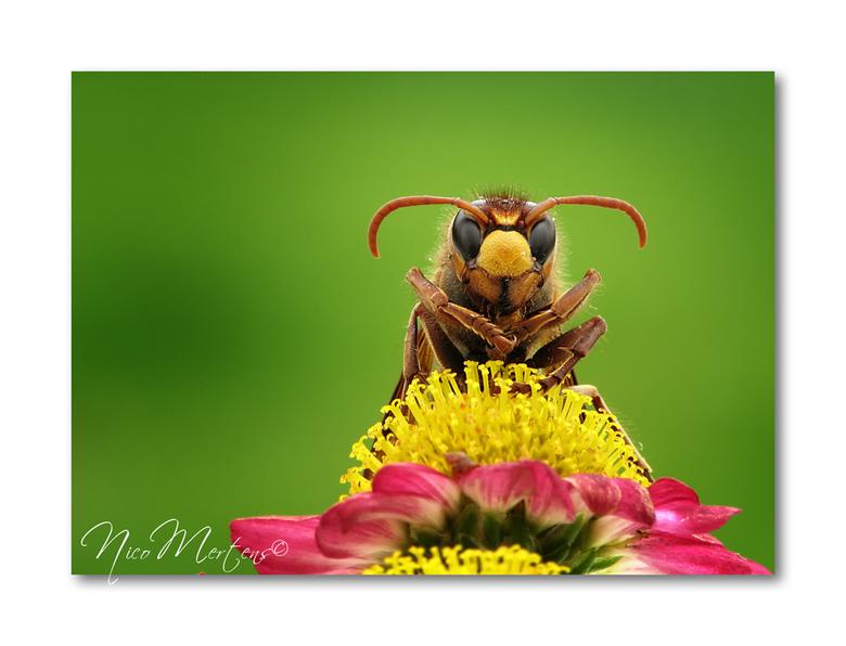 Hoornaar - Hallo...<br /> <br /> gisteren was het nog op het nieuws bij ons...&quot;man sterft na steek van hoornaar&quot;...best gevaarlijke beestj