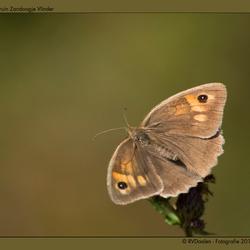 Bruin Zandoogje Vlinder