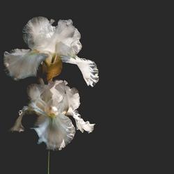White Knight Iris