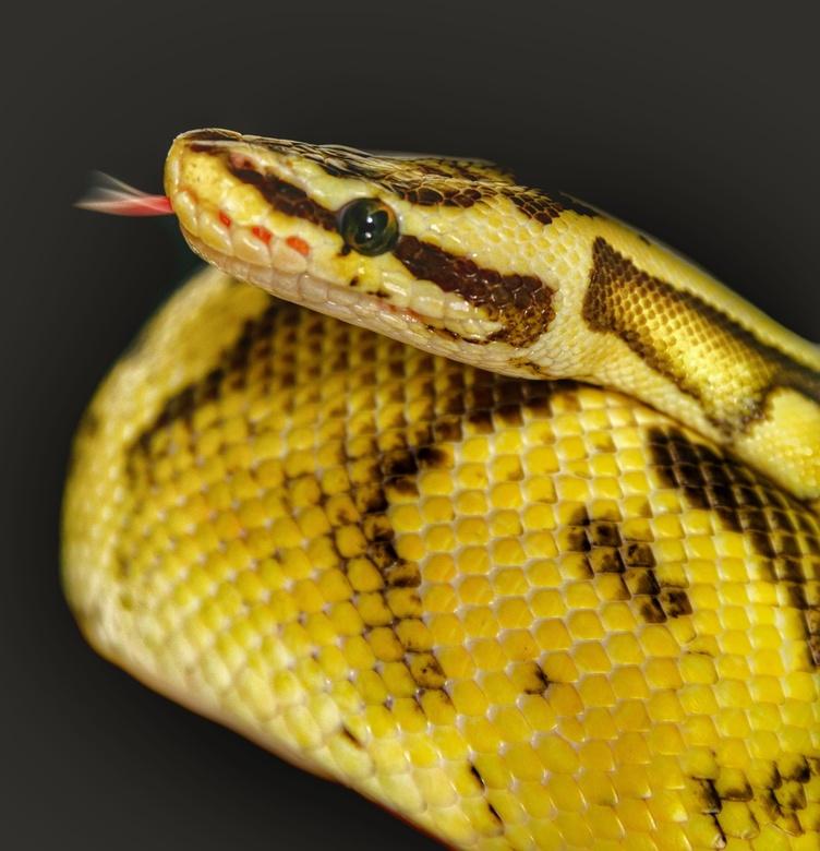 De gele python   - Vandaag voor het eerst een python gefotografeerd na bewerkt in Lightroom de zwarte achtergrond.