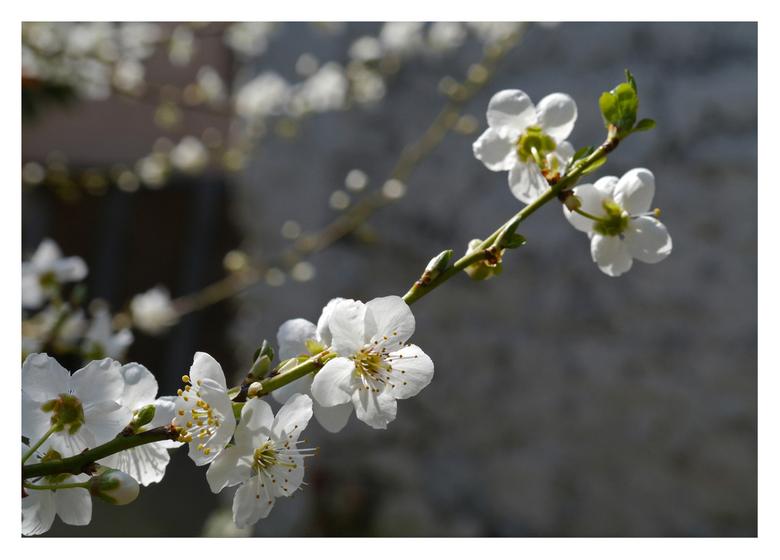 pruimpjes bloesem - Na mijn laatste sneeuwfoto van eind februari moest er maar eens een beetje lente komen...zeker nu het weekend bij jullie wat koud