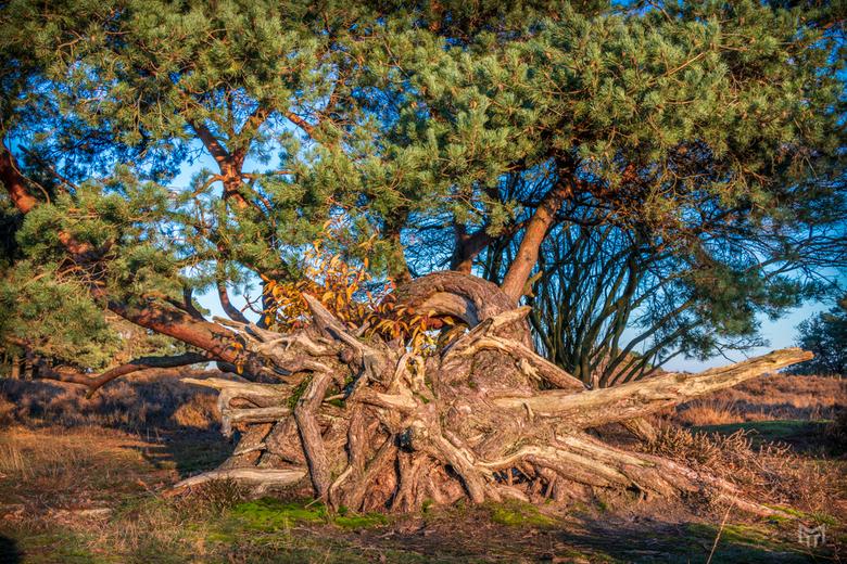 Gevelde boom -