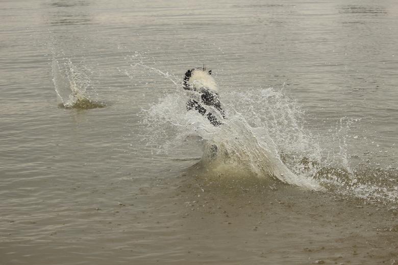 Jumping dog - Spelende bordercollie