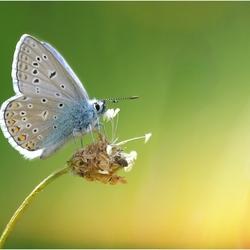 Icarusblauwtje