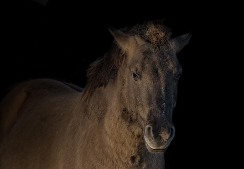 Konik paard.3   - Allen bedankt voor de mooie waarderingen op mijn vorige upload. Met deze foto sluit ik -voorlopig- de mini-serie van de Konikpaarden