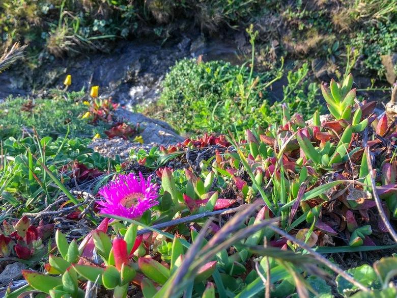 Bloeiende vetplant - Vet plant bij McClures Beach