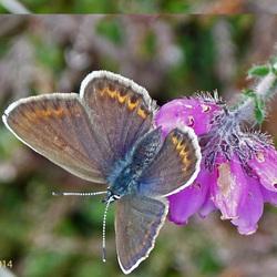 Blauwtje (vrouwtje)