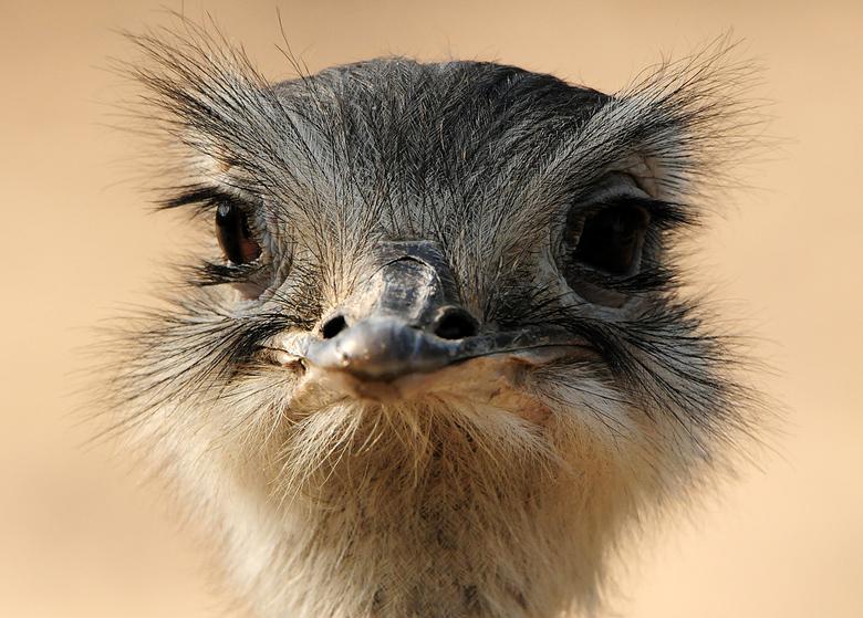 Nandoe - Deze close-up van een Nandoe heb ik gemaakt in de zoo 'Dierenrijk' in Mierlo.