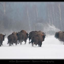 Buffelen met wisenten
