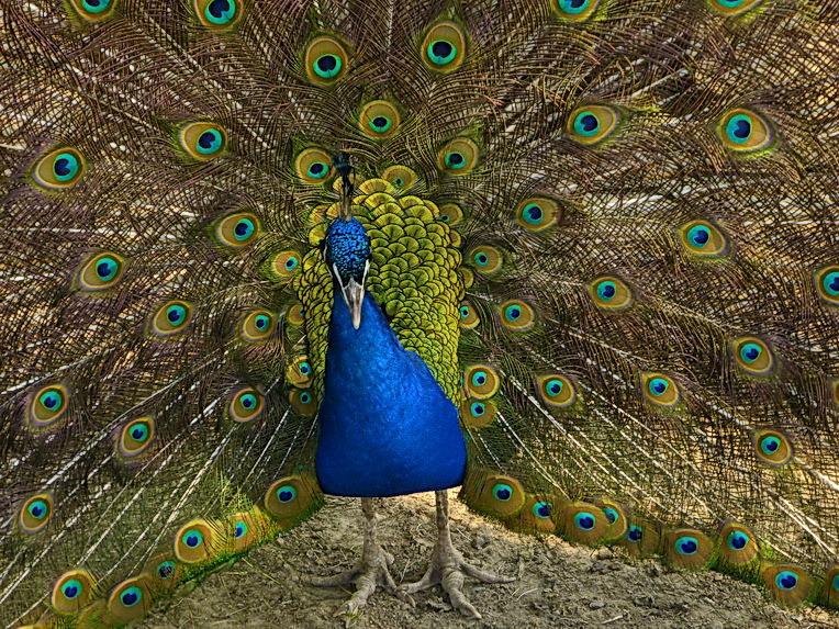 vogel serie 207. pauw. | dieren foto van oudmaijer | zoom.nl
