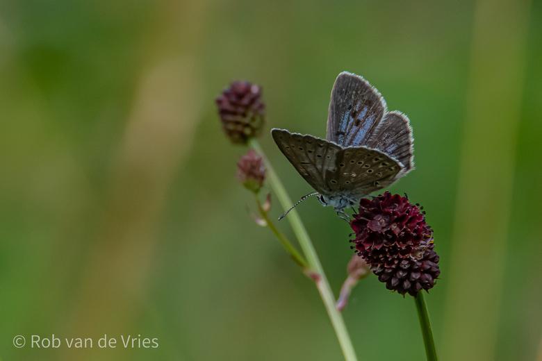 Pimpernelblauwtje - Het pimpernelblauwtje is sinds 1970 verdwenen uit Nederland. In 1990 werd de soort geherintroduceerd in de Moerputten in Noord-Bra