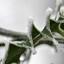 Slinger van rijp op hulstblad