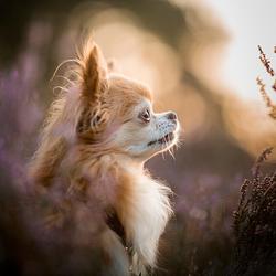 Chihuahua in avondlicht